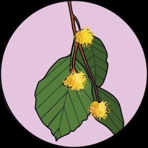 dessin fleur de bach floribach beech hetre
