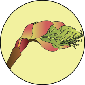 dessin fleur de bach floribach bourgeon marronnier chestnut bud
