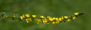 fleur de bach floribach 01 aigremoine agrimony