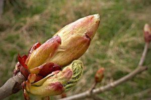 fleur de bach floribach 07 bourgeon marronnier chestnut bud