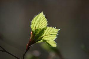 fleur de bach 03 hêtre beech floribach
