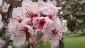 fleur de bach floribach 06 prunier cherry plum