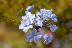 fleur de Bach 05 cerato plumbago