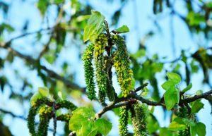 fleur de bach floribach 02 tremnle aspen