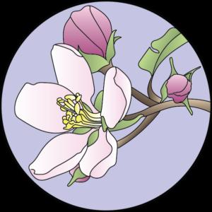 dessin fleur de bach floribach pommier sauvage crab apple