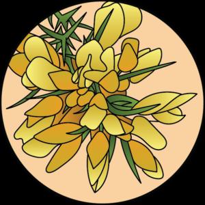 dessin fleur de bach floribach gorse ajonc