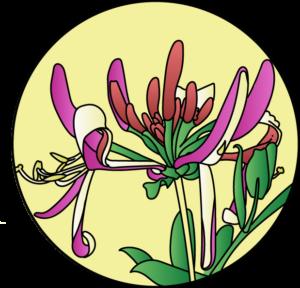 dessin fleur de bach floribach chevrefeuille honeysuckle