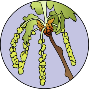 dessin fleur de bach floribach chene oak
