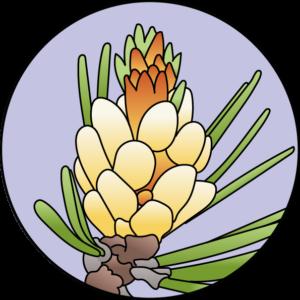dessin fleur de bach floribach pine pin sylvestre