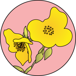 dessin fleur de bach floribach rock rose heliantheme