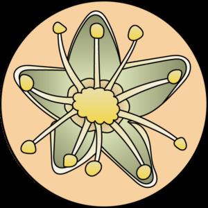 dessin fleur de bach floribach scleranthe