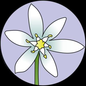 dessin fleur de bach floribach étoile de bethléem