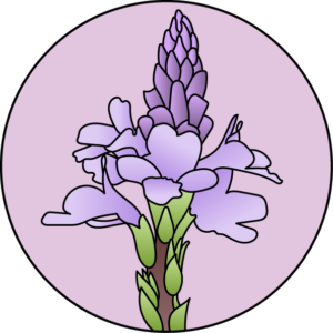 dessin fleur de bach floribach fleur verveine