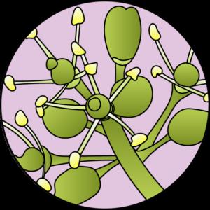 dessin fleur de bach floribach vigne vine