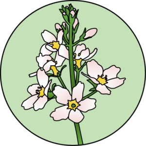 dessin fleur de bach floribach water violet