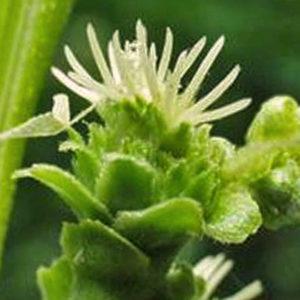 fleur de bach floribach 30 chataignier sweet chestnut