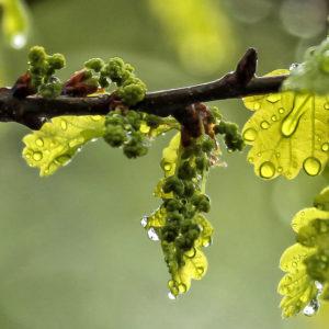 fleur de bach floribach 22 chene oak