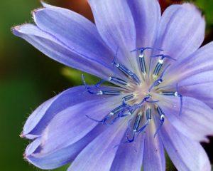 fleur de bach floribach 08 chicoree chicory