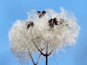 fleur de bach floribach 09 clematite clematis
