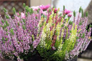 fleur de bach floribach 14 bruyere heather