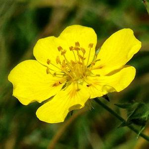 fleur de bach floribach 26 rock rose heliantheme
