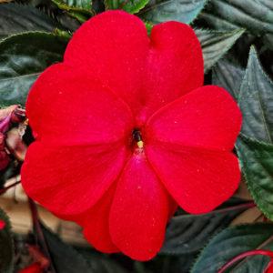 fleur de bach floribach 18 impatiens