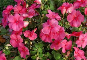 fleur de bach floribach 18 impatiens impatience