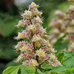 fleur de bach floribach 35 marronnier blanc white chestnut