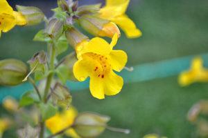 fleur de bach floribach 20 mimule mimulus