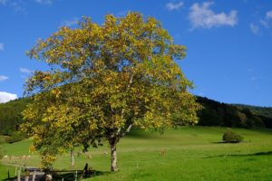fleur de bach floribach 33 walnut noyer