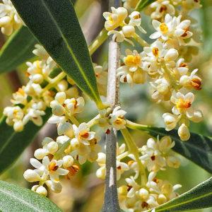 fleur de bach floribach 23 olive