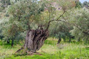 fleur de bach floribach 26 olive