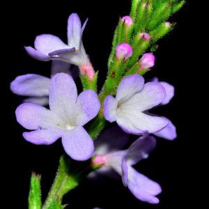 fleur de bach floribach 31 verveine vervain