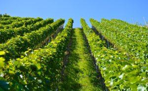 fleur de bach floribach 32 vigne vine