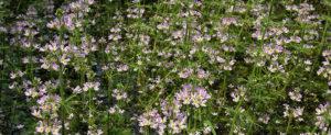 fleur de bach floribach 34 violette d'eau water violet