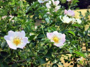 fleur de bach floribach 37 eglantier wild rose