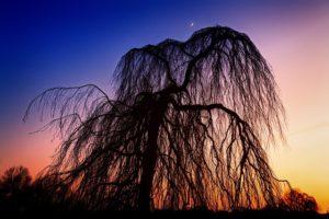 fleur de bach floribach 38 saule willow